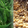 大豆の一生プロジェクト